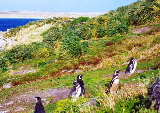 Tipo de vegetación de las Islas Malvinas